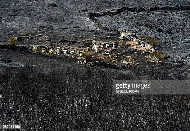 This picture taken on August 14 shows Beehives in an area burnt by a wildfire close the village of Espino in Oimbra northwestern Spain 7000 hectares...