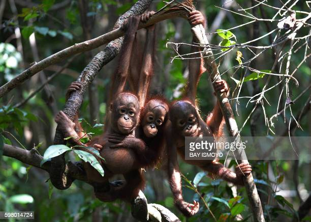 This picture taken on August 4 2016 shows three orphaned orangutan babies hanging on a tree whilst attending 'jungle school' at the International...