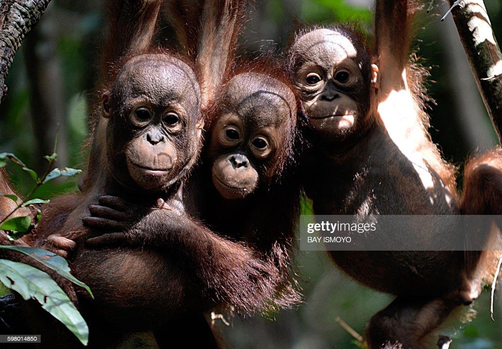 INDONESIA-CONSERVATION-ENVIRONMENT-ANIMAL-ORANGUTAN : News Photo