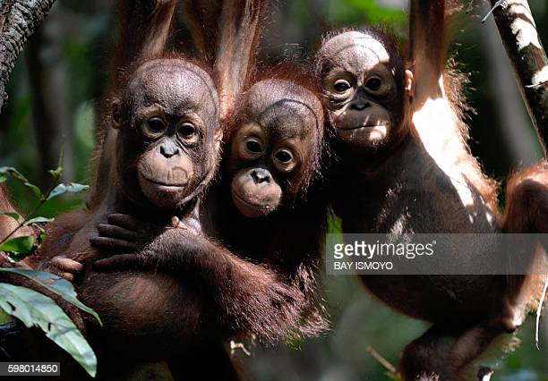 This picture taken on August 4 2016 shows three orphaned orangutan babies hanging in a tree whilst attending 'jungle school' at the International...