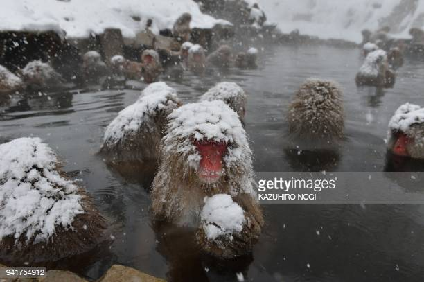 This picture taken on December 10 2012 shows Japanese macaques commonly referred to as snow monkeys taking an openair hot spring bath or onsen at the...