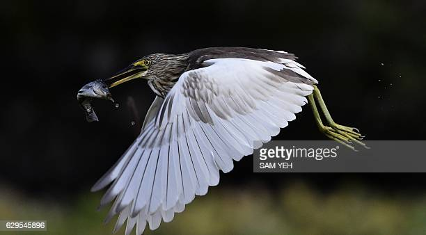 This picture taken on December 12 2016 shows a Chinese pond heron carrying a fish at the Taipei Botanical Garden / AFP / Sam YEH