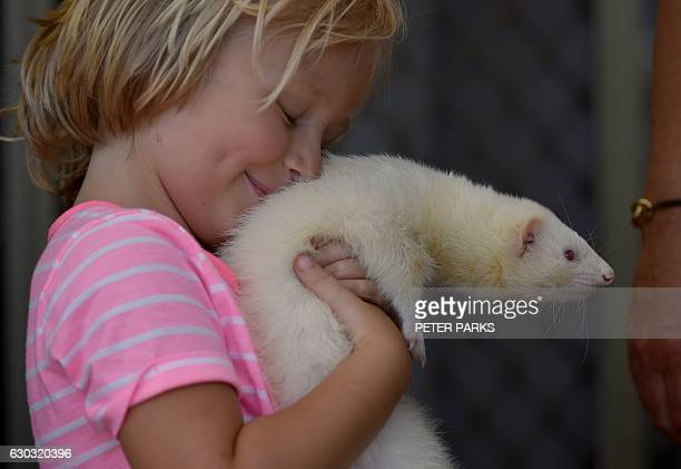 This picture taken on December 17 2016 shows four yearold Sammi Smith carrying Fideo a threeyearold male albino ferret in her house on the outskirts...