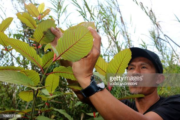 60 Top Kratom Pictures, Photos, & Images - Getty Images