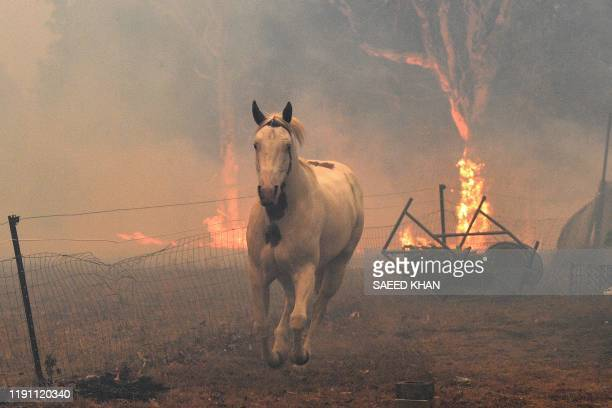 This picture taken on December 31 2019 shows a horse trying to move away from nearby bushfires at a residential property near the town of Nowra in...