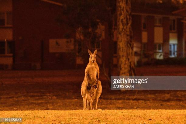 This picture taken on December 31, 2019 shows a kangaroo trying to move away from nearby bushfires at a residential property near the town of Nowra...