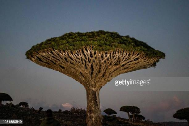 This picture taken on February 11, 2021 shows a view of Dragon's blood trees at the top of Dixam mountain in the Yemeni Island of Socotra, a site of...