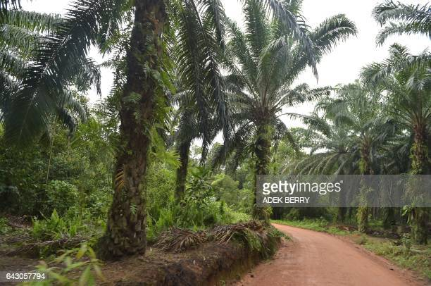 This picture taken on February 13, 2017 shows palm oil trees in Kendawangan, West Kalimantan. Edible vegetable oil is a key ingredient in many...