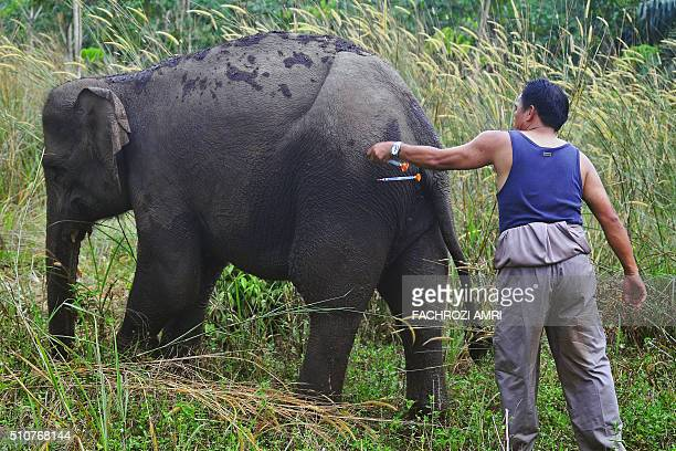 This picture taken on February 16 2016 shows an Indonesian veterinary worker removing a tranquiliser dart from a wild elephant at the Balairaja...
