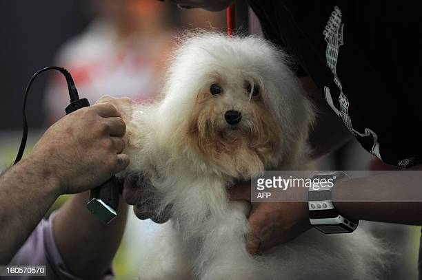 This picture taken on February 2 2013 shows a Maltese dog being held while it is groomed at the eighth Hong Kong Pet Show at the Hong Kong Convention...