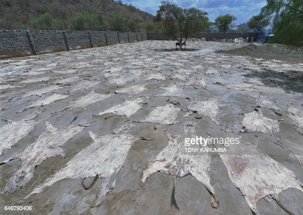 TOPSHOT This picture taken on February 28 shows Donkey skins drying in the sun at a licensed specialised slaughterhouse in Baringo on February 28...