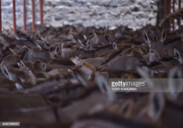 This picture taken on February 28 shows donkeys at a dock at a licensed specialised slaughterhouse in Baringo The emergence of the global trade in...