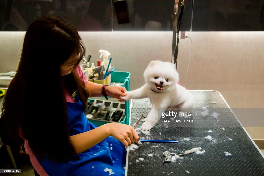 This picture taken on February 3, 2018 shows a dog (R) getting a brushing and hair cut during a spa treatment session at a pet groomers in Hong Kong. As the city welcomes the Year of the Dog for the Lunar New Year, pet owners are pushing out the boat more than ever to ensure their pooches are glossed and spritzed, with money no object. / AFP PHOTO / ISAAC LAWRENCE / TO GO WITH HongKong-Lifestyle-dogs by Vivian LIN