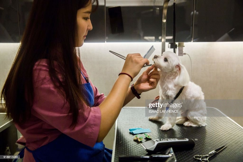 This picture taken on February 3, 2018 shows a dog getting the hair on its face trimmed during a spa treatment session at a pet groomers in Hong Kong. As the city welcomes the Year of the Dog for the Lunar New Year, pet owners are pushing out the boat more than ever to ensure their pooches are glossed and spritzed, with money no object. / AFP PHOTO / ISAAC LAWRENCE / TO GO WITH HongKong-Lifestyle-dogs by Vivian LIN