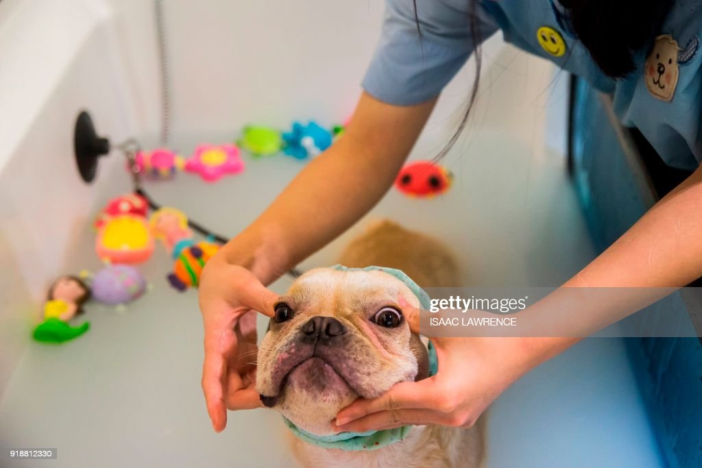 This picture taken on February 3, 2018 shows a French bulldog named Bao getting a face massage while having a bath during a spa treatment session at a pet groomers in Hong Kong. As the city welcomes the Year of the Dog for the Lunar New Year, pet owners are pushing out the boat more than ever to ensure their pooches are glossed and spritzed, with money no object. / AFP PHOTO / ISAAC LAWRENCE / TO GO WITH HongKong-Lifestyle-dogs by Vivian LIN