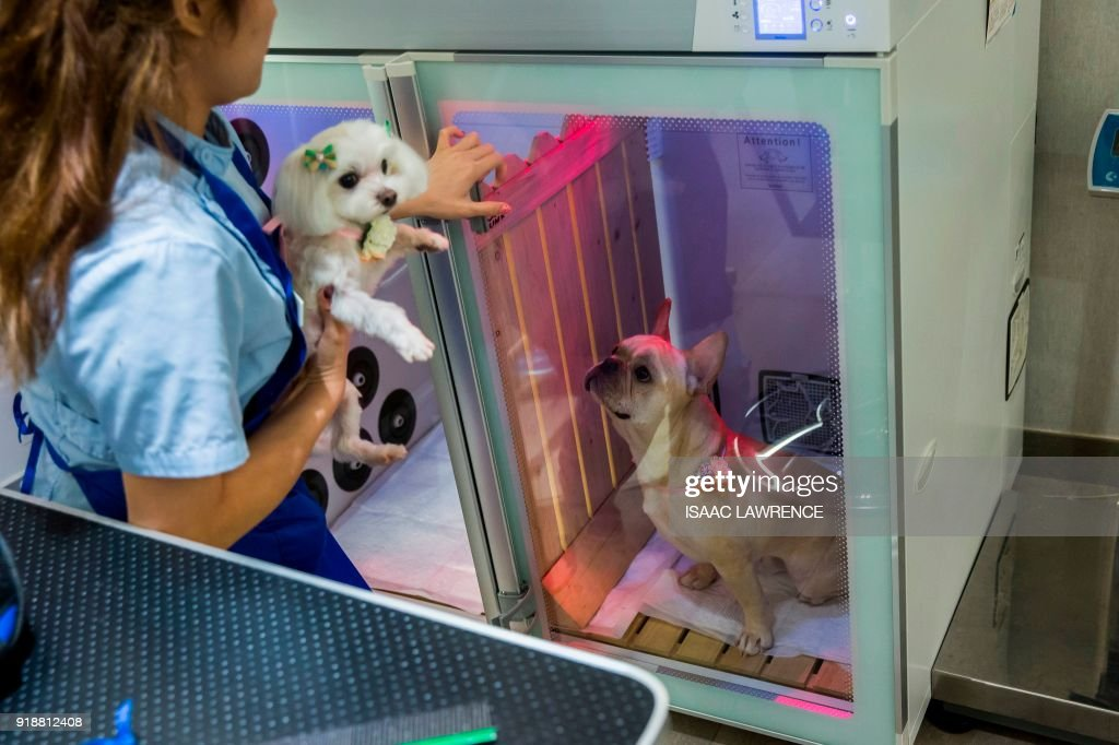 This picture taken on February 3, 2018 shows a French bulldog (R) named Bao inside a booth that provides oxygen during a spa treatment session at a pet groomers in Hong Kong. As the city welcomes the Year of the Dog for the Lunar New Year, pet owners are pushing out the boat more than ever to ensure their pooches are glossed and spritzed, with money no object. / AFP PHOTO / ISAAC LAWRENCE / TO GO WITH HongKong-Lifestyle-dogs by Vivian LIN