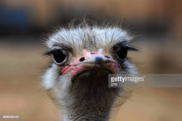 This picture taken on February 8 2015 shows an ostrich inside an enclosure at Qingdao forest wildlife world in Qingdao east China's Shandong province...