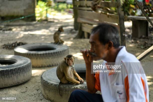 This picture taken on February 8 2018 shows a pigtailed macaque sitting on a tyre as trainer Wan Ibrahim Wan Mat smokes a cigarette outside his house...