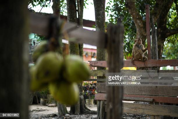 This picture taken on February 8 2018 shows a pigtailed macaque sitting on woodplank before learning to pick coconuts outside trainer Wan Ibrahim Wan...