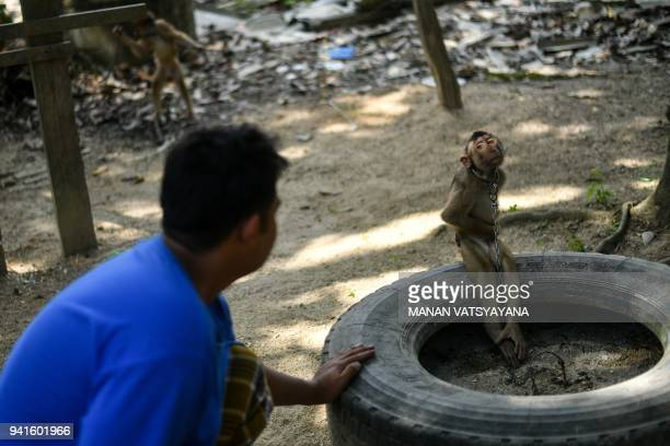 This picture taken on February 8 2018 shows a pigtailed macaque tied up with a chain outside trainer Wan Ibrahim Wan Mat's house in the village of...