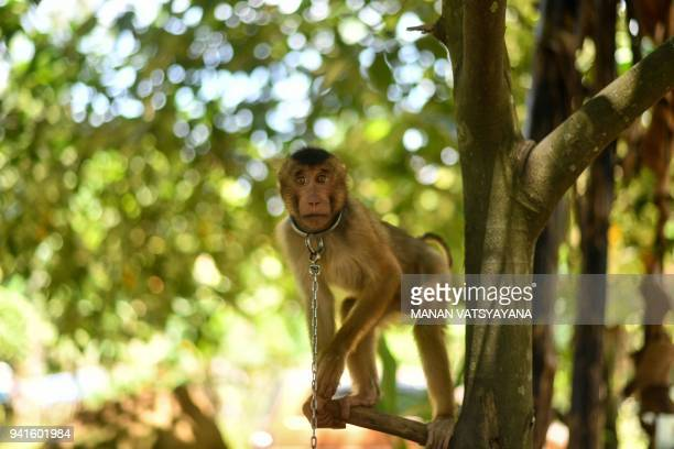 This picture taken on February 8 2018 shows a pigtailed macaque tied with a chain outside trainer Wan Ibrahim Wan Mat's house in the village of Melor...