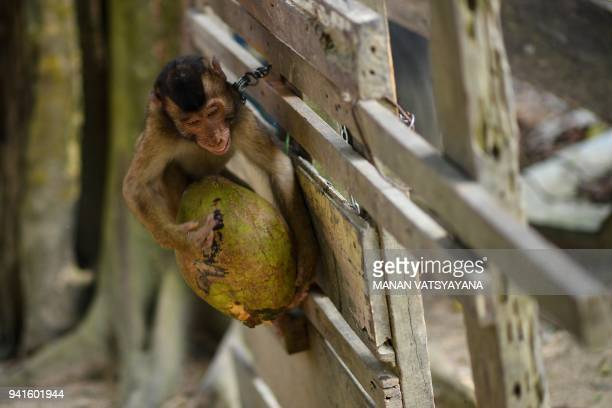 This picture taken on February 8 2018 shows a pigtailed macaque learning to pick coconuts outside trainer Wan Ibrahim Wan Mat's house in the village...