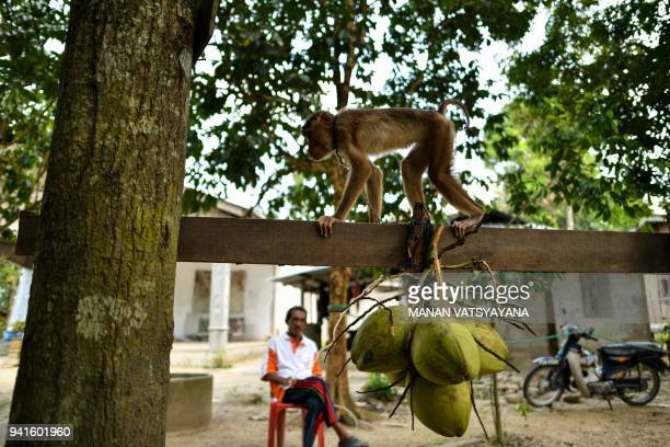 This picture taken on February 8 2018 shows a pigtailed macaque learning to pick coconuts as trainer Wan Ibrahim Wan Mat looks on outside his house...