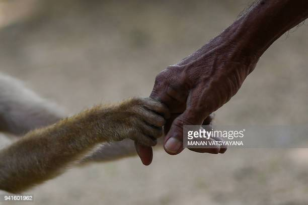 This picture taken on February 8 2018 shows a pigtailed macaque holding trainer Wan Ibrahim Wan Mat's hand outside his house in the village of Melor...