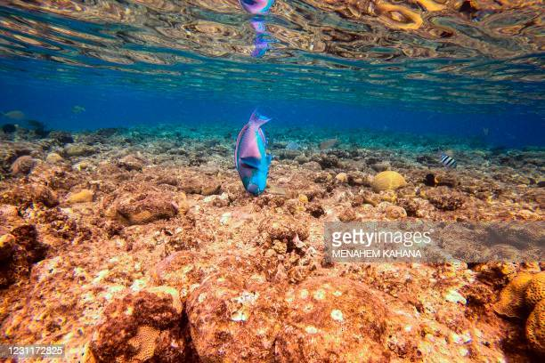 This picture taken on February 9, 2021 shows a view of marine life at a coral reef in the Red Sea waters off the coast of Israel's southern port city...