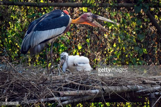This picture taken on January 1 shows a greater adjutant stork and its chick on an artificial platform in an enclosure at Assam State Zoo/Botanical...
