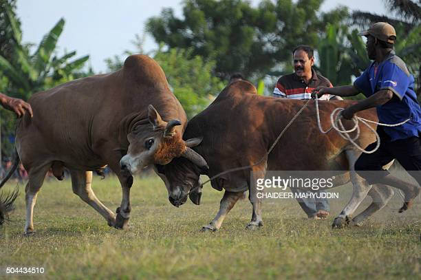 This picture taken on January 10 2016 shows two men controlling their bulls during a bullfight in Banda Aceh Bull fighting is a traditional sport in...