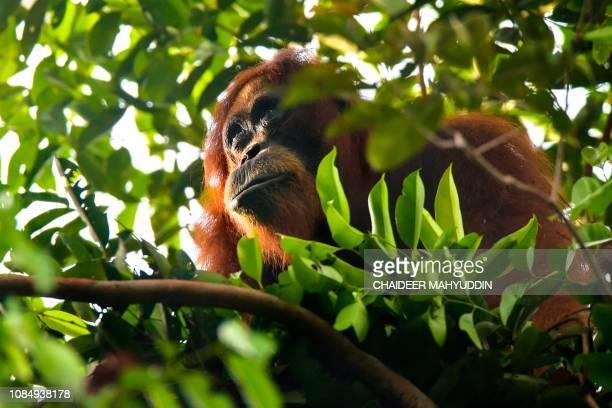 This picture taken on January 11 2019 shows a wild Sumatran orangutan feeding on fruits in the Leuser ecosystem near Suaq Balimbing Aceh The Leuser...