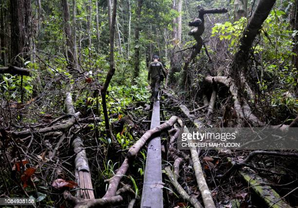 This picture taken on January 12 2019 shows an Indonesian forest ranger patrolling the Leuser ecosystem near Suaq Balimbing Aceh The Leuser ecosystem...