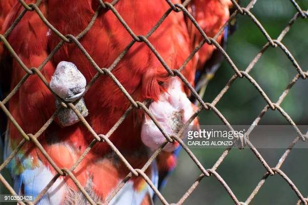This picture taken on January 17 2018 shows a macaw at the Wildlife Rescue and Conservation Association in Dolores municipality Peten department 220...