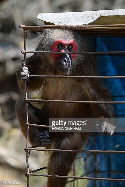 This picture taken on January 21 2014 shows captured wild red face monkey being kept inside a cage at a hilltribe H'mong ethnic family in Van Chan...