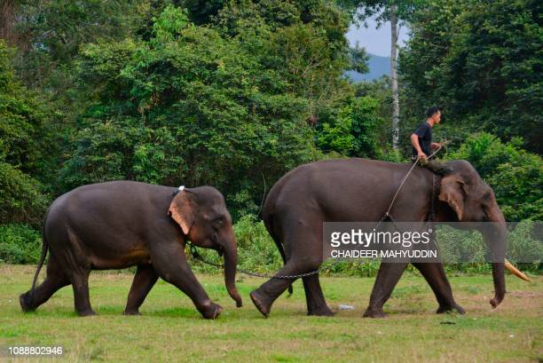This picture taken on January 25, 2019 shows an Indonesian mahout training a young Sumatran elephant at the Saree elephant training centre in Aceh...