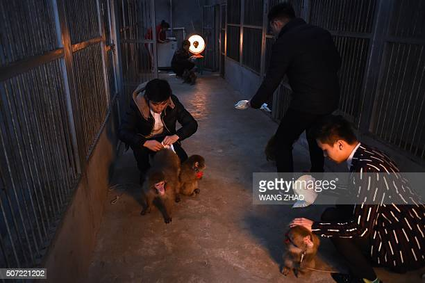 This picture taken on January 26 2016 shows trainers putting on diapers on monkeys at a monkey training school in a zoo in Dongying eastern China's...