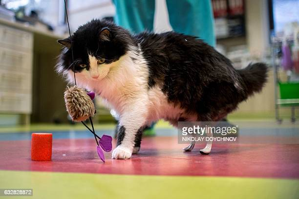 This picture taken on January 26 2017 in Sofia shows the oneyearold cat Pooh playing with a toy with new bionic back paws Two Bulgarian cats who lost...