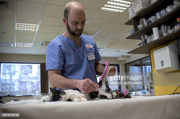 This picture taken on January 26 2017 in Sofia shows veterinary Vladislav Zlatinov examining the eightmonthold cat Steven prior an operation giving...
