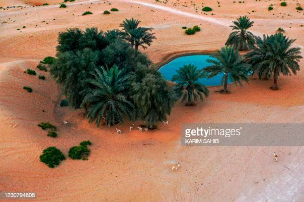 """This picture taken on January 26, 2021 shows an aerial view of Arabian sand gazelles, known as """"Reem"""", by a pond at a desert oasis at a resort on the..."""