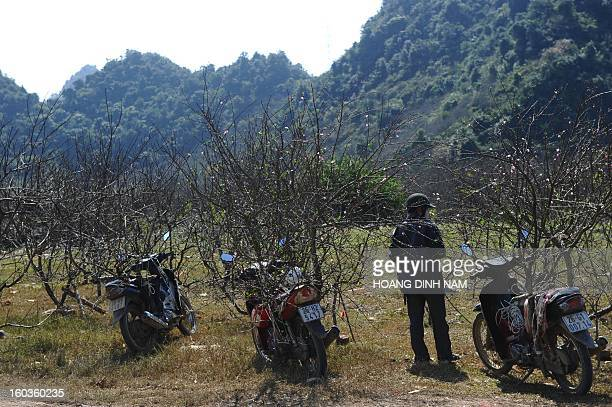 This picture taken on January 29 2013 shows a man standing amongst peach blossom branches next to a highway in the northen highland of Moc Chau in...