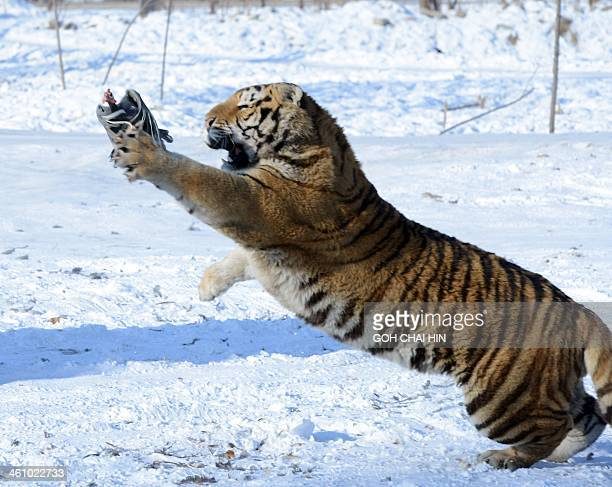 This picture taken on January 6 2014 shows a Siberian tiger trying to catch a chicken released by a gamekeeper to entertain visitors at the Siberian...