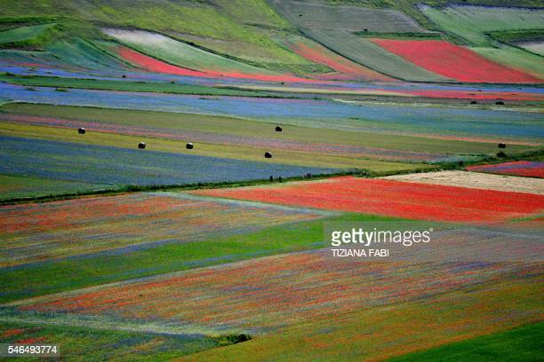This picture taken on July 12 2016 shows flowers in bloom including lentil fields and poppies near Castelluccio a small village in central Italys...