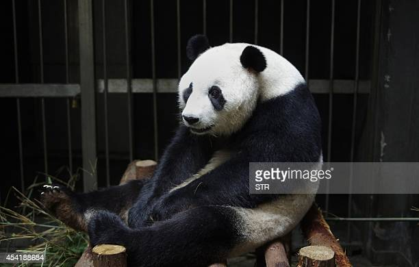 This picture taken on July 17 2014 shows giant panda Ai Hin sitting in its enclosure at the Chengdu Giant Panda Breeding Research Centre in Chengdu...