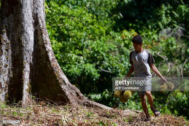 This picture taken on July 22 2017 shows a village boy collecting durian fruits from a farm in Lhoong Aceh province Durians a highly prized fruit in...