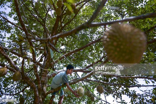 This picture taken on July 22 2017 shows a village boy plucking durian fruits from a tree at a farm in Lhoong Aceh province Durians a highly prized...