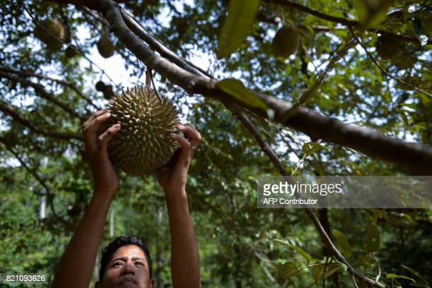 This picture taken on July 22 2017 shows a village boy pluckings durian fruits from a tree at a farm in Lhoong Aceh province Durians a highly prized...