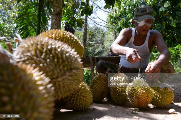 This picture taken on July 22 2017 shows a villager collecting durian fruits from a farm in Lhoong Aceh province Durians a highly prized fruit in...