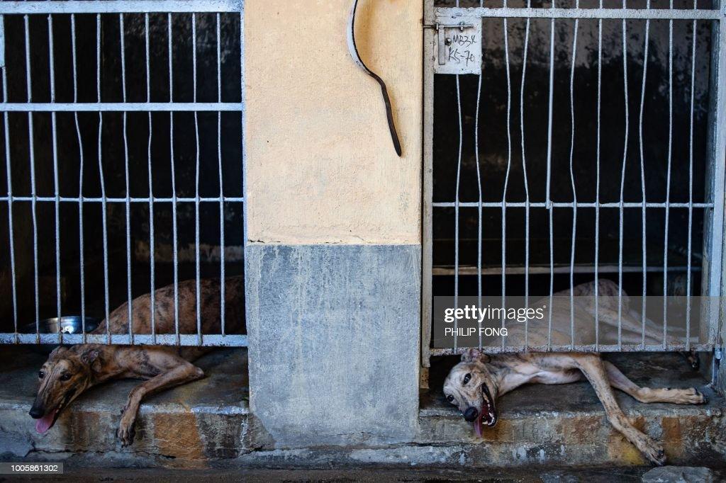 TOPSHOT-MACAU-SPORT-ANIMAL-GREYHOUNDS : News Photo