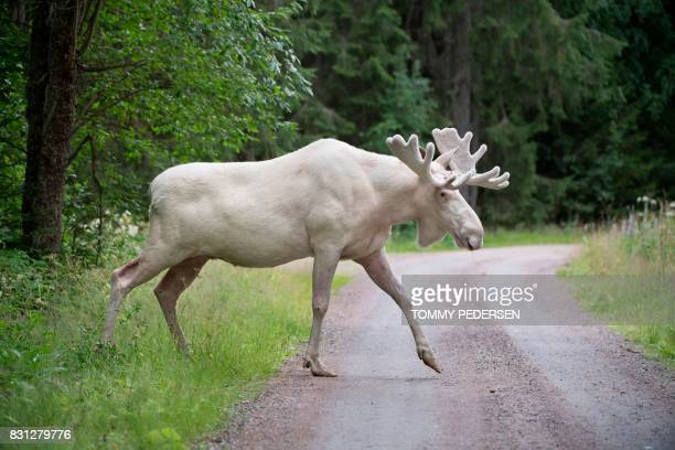 This picture taken on July 31 2017 shows a rare white moose in Gunnarskog Vaermland County Sweden There are only around 100 white moose in Sweden /...